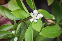 Calamondin (Citrus x microcarpa) (blumenbiene) Tags: plant pflanze flowers blten blte flower boga botanical garden botanischer garten dresden saxony sachsen calamondin citrus x microcarpa calamondinorange calamansi