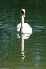 Double cygne (multimaniack) Tags: suisse canon cygne blanc bec lac powershot g16 reflet vertical