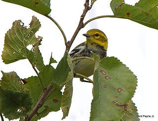 Black-throated Green Warbler_N8459_5612.NEF