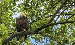 Bald Eagle..... (Kevin Povenz Thanks for the 2,600,000 views) Tags: 2016 july westmichigan michigan kevinpovenz ottawa ottawacounty ottawacountyparks grandravinesnorth wildlife wild bird birdsofprey baldeagle eagle tree nature outdoors outdoor outside canon7dmarkii sigma150500