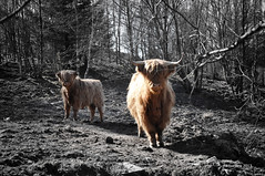 Cattle I (SkarbovikPhoto) Tags: nature march nikon cattle partialcolor selective colorization d90 2013 18105mm