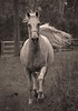 The charge B &W (Emanuel Papamanolis) Tags: horse arabian mygearandme me2youphotographylevel2 me2youphotographylevel1 vigilantphotographersunite