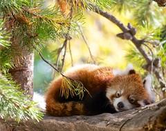 Sleepy Red Panda (John Andersen (JPAndersen images)) Tags: cute calgary pinetree zoo bokeh sleepy redpanda