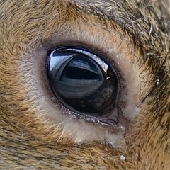 This one is molting around the eye (Vox Sciurorum) Tags: reflection eye closeup fur squirrel molt sciuruscarolinensis 105mmf28gvrmicro