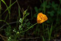 Greeting the Sun (sierrasylvan) Tags: california statepark foothills flower nature canon spring hiking sigma trail adobe poppy bridgeport wildflower nevadacounty sierranevadafoothills southyubariverstatepark canoneos50d lightroom3 buttermilkbendtrail tuftedpoppy zeikos photomatixpro4 adobephotoshopcs5 adobebridgecs5 sigma1770mmf2845dcmacrolens zeikoscpl