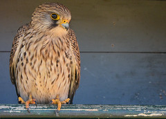 Torenvalk (Jan Visser Renkum) Tags: kestrel falcotinnunculus torenvalk