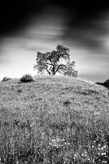 Spring (Ron Rothbart) Tags: california longexposure flowers blackandwhite bw tree monochrome clouds hill nd brionesreservoir neutraldensityfilter 10stopfilter