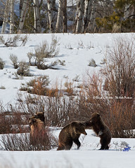 Wrestling Grizzlies Cubs (Daryl L. Hunter - The Hole Picture) Tags: usa spring unitedstates wyoming jacksonhole grandtetonnationalpark fightingbears daryllhunter grizzly610 wrestlinggrizzlybears grizzly610andcubs