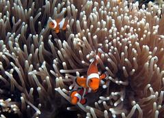 Clown anemonefishes (pasto) Tags: ocean vacation water asia philippines diving scubadiving elnido palawan submarinerdivecentre clownanemonefishestravel