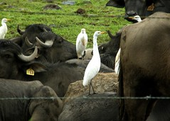Water Buffalo & Cattle Egret, Bocas del Toro, Panama (pacheweychomp) Tags: birds panama bubulcusibis bubalusbubalis bocasdetoro