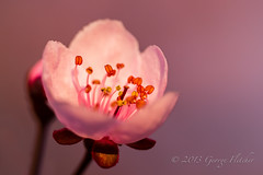 Lost in a world of Pink (GFletch -- persistently behind :)) Tags: pink spring blossom floweringplum