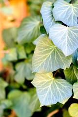 Ivy Leaves (Eric Kilby) Tags: park plant leaves boston zoo franklin ivy