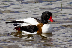 nec blanc / Common Shelduck (SBA73) Tags: bird animal duck au beak catalonia ave pico pato catalunya pajaro bec anas llobregat aiguamolls shelduck commonshelduck tadornatadorna ocell parcnatural anec deltadelllobregat maresma necblanc lesfilipines