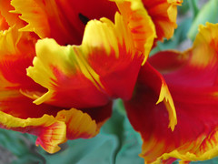 Tuesday tulip (indee) Tags: garden joy explore tulip parrottulip indee spring2013