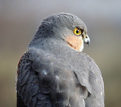 SDR SPARROWHAWK BUZZ 125 THIS IS A WILD BIRD (ivorrichardk) Tags: sdrhawkbuzz
