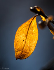 Golden leaf - SOOC (nemi1968) Tags: blue light orange sunlight macro leaves oslo closeup canon leaf ngc april botanicalgarden botaniskhage markiii ef100mmf28lmacroisusm