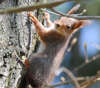 Eichhörnchen auf dem Nordfriedhof, NGID1069970861