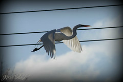 In flight (ThroughMyEyes_JKM) Tags: sky bird heron fly wings indiana egret