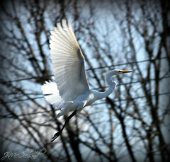 In flight (ThroughMyEyes_JKM) Tags: white bird heron wings feathers indiana egret