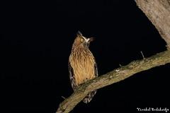 Buffy Fish Owl. Lower Peirce Reservoir, Singapore (22 Apr 2013) (Vinchel) Tags: canon is singapore ii owl usm ef 400mm f28l 1dx