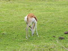 1184. Earth Day (1) (profmpc) Tags: green orlando deer gazelle grazing animalworld