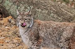 Yummy! (PimGMX) Tags: cat los feline predator lynx luchs roofdier anholterschweiz raubtier eurasianlynx lynxlynx euraziatischelynx eurasiatischerluchs eurasiatiesrooikat