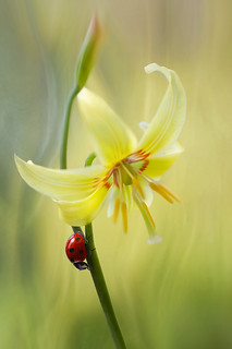 Erythronium and lady