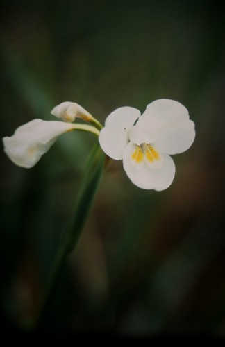 Diplarrena latifolia (Western Flag; Mountain Flag)