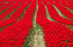 Pretty Reddy (gordeau) Tags: red green tulips path many symmetry rows gordon ashby twocolours flickrchallengegroup flickrchallengewinner gordeau