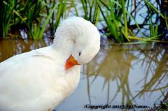 Lovely Goose