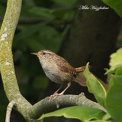 WR 052  ~~~~~~~~~~ WREN ~~~~~~~~~~~~ (Mike Hazzledine ... Having Problems Again !!) Tags: birds garden wren wrens troglodytestroglodytes passerines