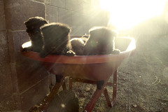 Chow Puppies in a Wheelbarrow (Immature Animals) Tags: arizona sky rescue baby hot cute animal puppies desert tucson young adorable fluffy az pima bark chow wheelbarrow petco chowchow petfinder koalition pacc petcofoundation