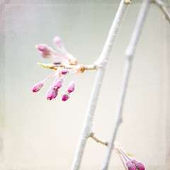 Weeping Cherry Tree Buds (The Shutterbug Eye) Tags: flower nature photography photo spring photograph cherryblossom etsy cantigny flowerbud theshutterbugeye