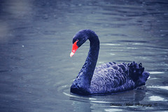 [Explore] The black swan! (Dumitru Mihai) Tags: light black water beautiful swan negro blackswan cisne elegance elegancia cisnenegro