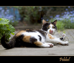 Yummy stick .... (Jan Gee) Tags: cat garden outside feline chat outdoor kitty stretch gato calico gata katze lying gatto poes kot lapjeskat pebbel tricolores impressedbeauty mygearandme