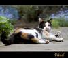Yummy stick .... (Jan Gee) Tags: cat garden outside feline chat outdoor kitty stretch gato calico gata katze lying gatto poes kot lapjeskat pebbel tricolores impressedbeauty mygearandme