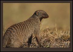 Jerry the Mungo! (Rainbirder) Tags: kenya masaimara bandedmongoose mungosmungo rainbirder