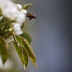 loaded (beta karel) Tags: blue light sky white flower green apple nature closeup canon insect square fly leaf spring blossom bokeh air bee 2013 40d betakarel
