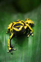 Yellow-Banded Poison Dart Frog (William T Hornaday) Tags: yellowbandedpoisondartfrog