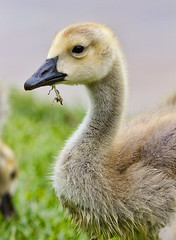 Gosling (Rich Terrell) Tags: birds