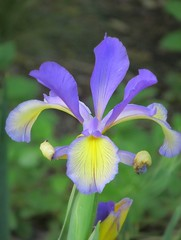 An Unexpected Iris (Nancy Hastings5) Tags: iris beautifulearth mimamorflowers chariotsofnaturelevel1 iris~alliris~onlyiris