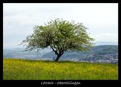 Lrrach-Obertllingen (Michael_H.) Tags: tree green landscape nikon ngc natur 1750 grn tamron lrrach baum autofocus sdbaden tamronspaf1750mmf28xrdiiildasphericalif tllingen obertllingen nikonflickraward nikonflickraward nikond5100