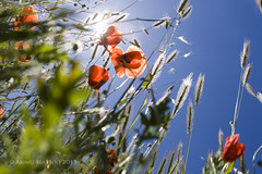 common poppy flower from a different point of view (Beatrix Abiwu) Tags: red summer sun flower canon photo spring shot picture bluesky pointofview poppy cornpoppy commonpoppy fieldpoppy