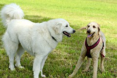 Mogli playing with Fiona (balu51) Tags: white dogs meadow mai hund hunde kuvasz pfingsten playingdogs 2013 hirtenhund spielendehunde