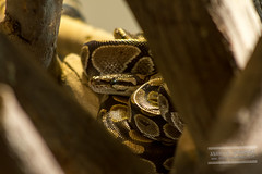 Snake (Anahita Hashmani) Tags: tourism animal animals photography zoo dubai photographer tour snake wildlife uae breeding captivity crawler dubaizoo femalephotographer anahitahashmani