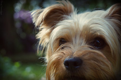 Timmy (Gerry_Pics) Tags: portrait dog pet yorkie animal garden hair fur nose spring eyes bokeh ears yorkshireterrier