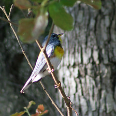 Day 142: Northern Parula (MickiP65) Tags: wild copyright usa bird gulfofmexico nature birds animal animals backyard gulf florida wildlife birding may aves creation northamerica fl 365 creatures creature birdwatching cedarkey 142 animalia avian levy allrightsreserved audubon day142 gulfcoast copyrighted woodwarbler northernparula parula chordata 2013 woodwarblers michellepearson websized naturecoast img6912 parulas 365daysofphotos mickip mickip65 20130522 may222013 052213 05222013