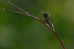 Ruby-throated Hummingbird-42138.jpg (Mully410 * Images) Tags: birds backyard hummingbird birding hummer birdwatching birder rubythroatedhummingbird