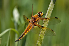 A Dragon At Last! (me'nthedogs) Tags: dragonfly somerset naturereserve levels westhay fourspotchaser