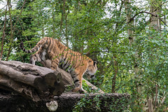 Zoo Duisburg (G_Albrecht) Tags: deutschland tiger duisburg katzen nordrheinwestfalen tier umwelt amurtiger saeugetier raubtier sibirischetiger grosskatzen ussuritiger katzenartige
